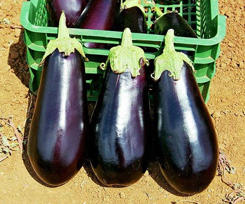 Баклажан овощ нежный
