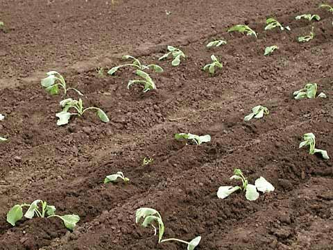 Посадка и выращивание капусты без рассады