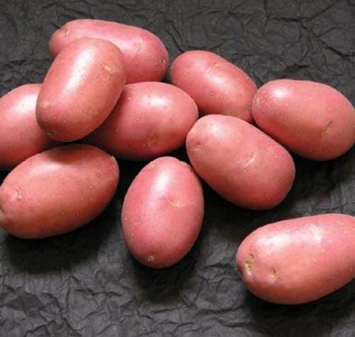 Сорта картофеля. Делаем правильный выбор
