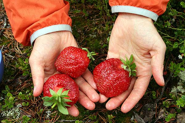 Выращивание садовой клубники на Урале