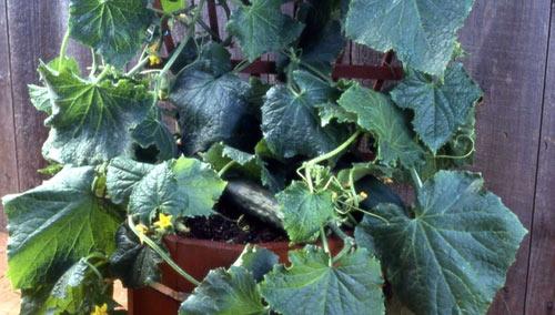 Как выращивать огурцы в теплице и открытом грунте