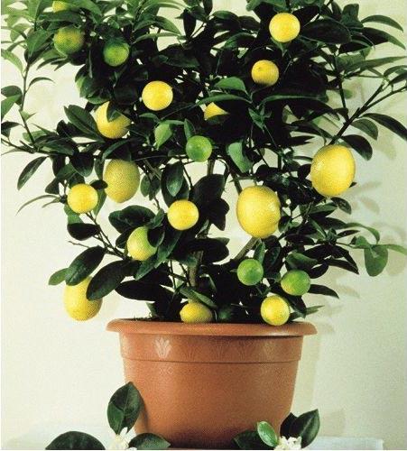 Чтобы лимон заплодоносил...