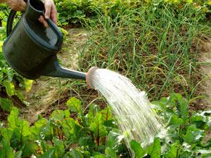 Полив огорода - как правильно поливать помидоры и огурцы