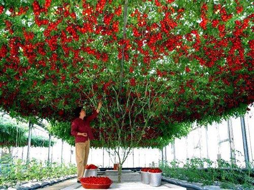 Выращивание рассада помидор в домашних условиях
