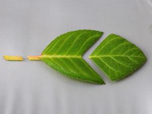 Сенполия - размножение листом
