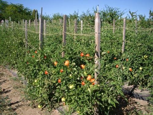 Выращивание помидоров: как получить хороший урожай?