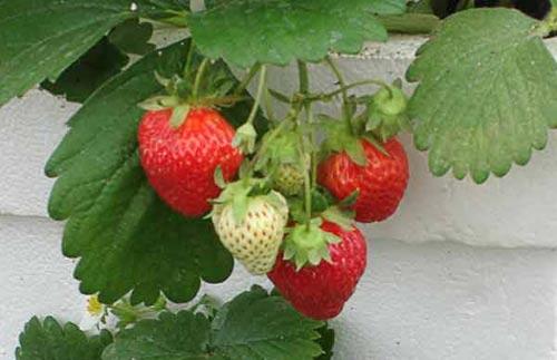 Лучшие сорта садовой земляники