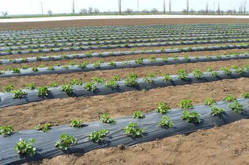 Выращивание земляники под черной пленкой
