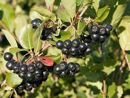 Черноплодная рябина – заготовки на зиму