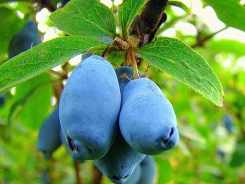 Жимолость - синеплодный кустарник