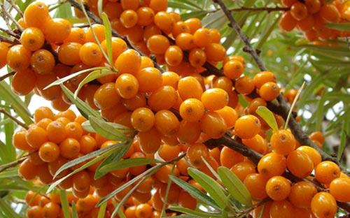 Облепиха: выбор сорта, выращивание, полезные свойства