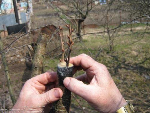 Прививка плодовых деревьев - лучшие способы