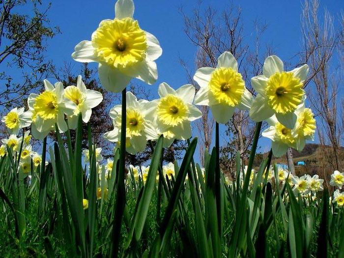 Тюльпаны и нарциссы-посадка и уход
