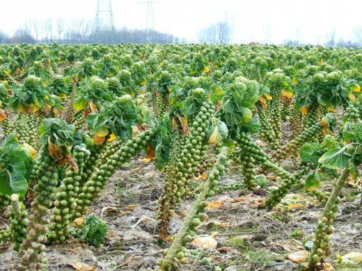 Брюссельская капуста – посадка, уход и выращивание