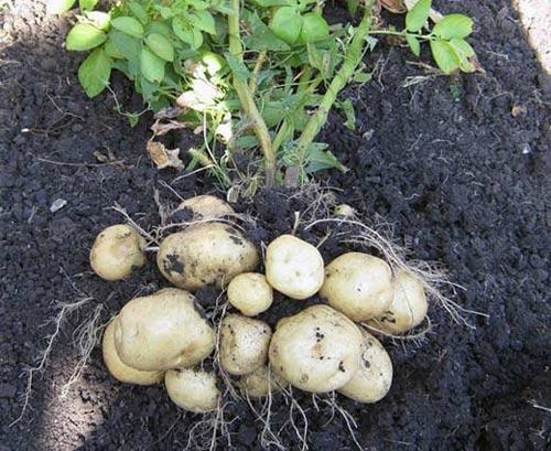 Два урожая с одного куста картофеля