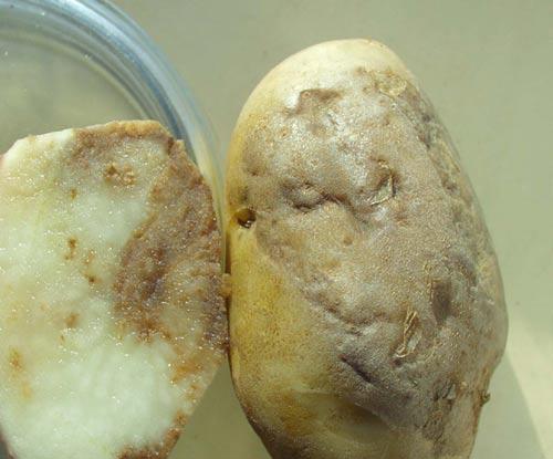 Защищаем картофель от фитофтороза и проволочника
