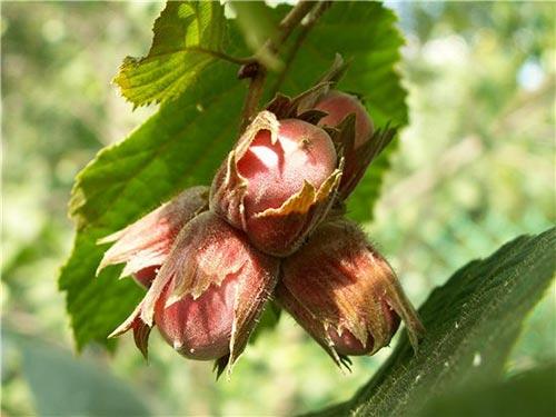 Фундук: выращивание на приусадебном участке