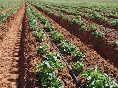 Выращивание картофеля под сеном и соломой 694