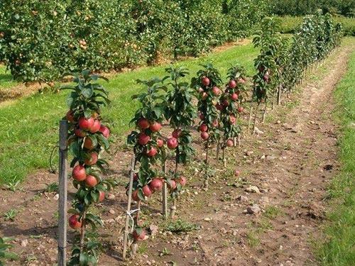 Карликовые яблони: сорта, которые нужны всем