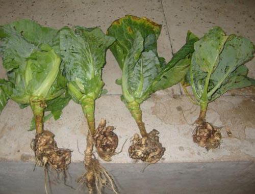 килоустойчивые сорта капусты