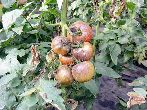 Защищаем помидоры от фитофтороза
