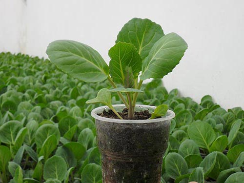 Рассада капусты и правила ее выращивания