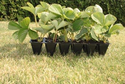 Выращивание рассады земляники садовой