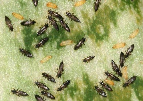 Трипсы – как избавиться от злых врагов растений