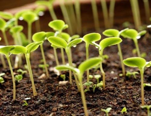 Выращивание рассады по всем правилам