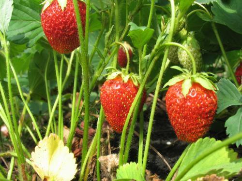 Агротехника выращивания садовой земляники