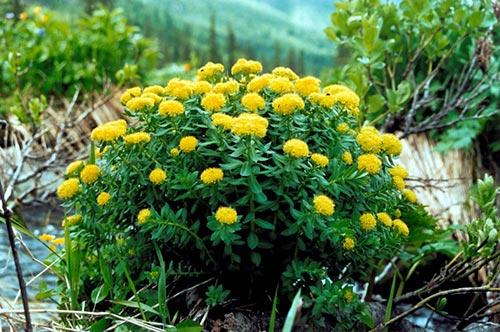 Золотой корень – лечебные свойства и применение
