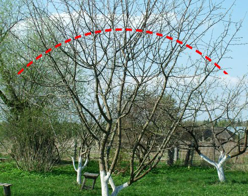 Формирование кроны плодовых деревьев в уральском саду