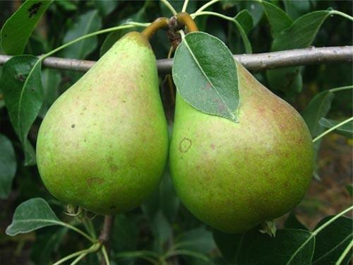 Сорта груш для Урала
