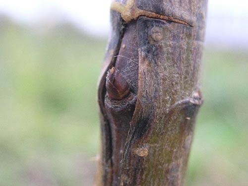 Окулировка плодовых деревьев