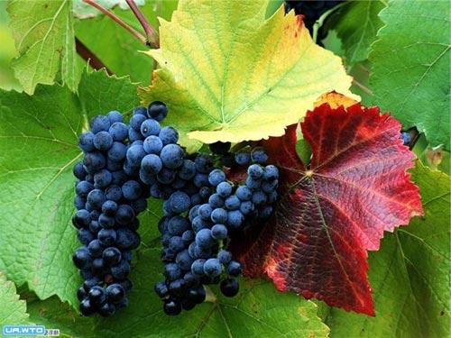Виноград на Урале